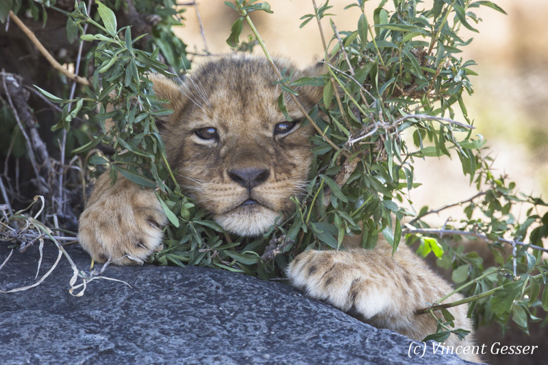Young lion cub (Panthera leo) watching from between the shrubs, Masai Mara National Reserve, Kenya