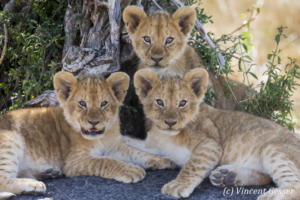 Three lion cubs (Panthera leo) watching, Masai Mara National Reserve, Kenya
