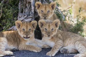 Three lion cubs (Panthera leo) watching, Masai Mara National Reserve, Kenya