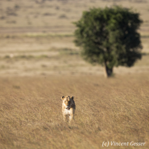 Lioness (Panthera leo) walking straight at you, Masai Mara National Reserve, Kenya