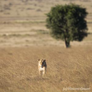 Lioness (Panthera leo) walking straight at you, Masai Mara National Reserve, Kenya