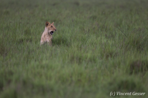 Lion (Panthera leo) in the green grass, Masai Mara National Reserve, Kenya