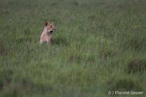 Lion (Panthera leo) in the green grass, Masai Mara National Reserve, Kenya