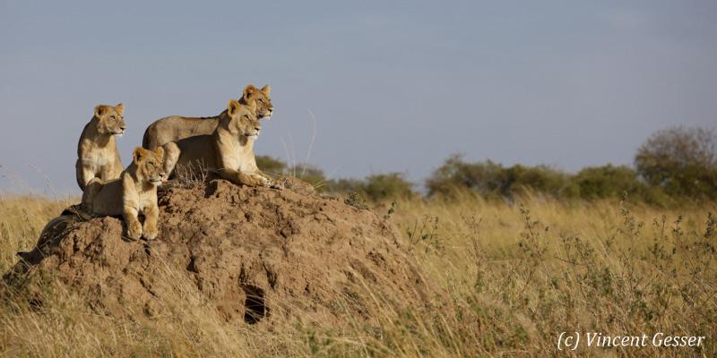 Three lionesses (Panthera leo) observing the savannah, Masai Mara National Reserve, Kenya