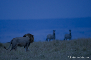 Lion (Panthera leo) on the hunt for zebras (Equus quagga burchellii) at dusk, Masai Mara National Reserve, Kenya