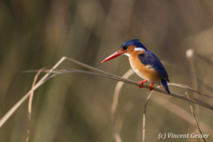 Malachite Kingfisher (Alcedo cristata) on a branch on shore of Lake Kariba, Zimbabwe, 1