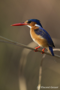 Malachite Kingfisher (Alcedo cristata) on a branch on shore of Lake Kariba, Zimbabwe, 2