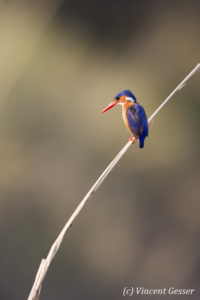 Malachite Kingfisher (Alcedo cristata) on a branch on shore of Lake Kariba, Zimbabwe, 3