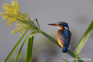 Malachite kingfisher ( Alcedo cristata) with yellow flower, Masai Mara National Reserve, Kenya