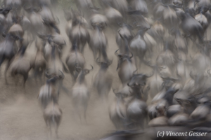 Wildebeests (Connochaetes) running out of a crossing  of the Mara river, Masai Mara National Reserve, Kenya