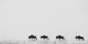 Wildebeests (Connochaetes) migrating, Masai Mara National Reserve, Kenya