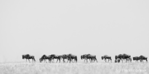 Wildebeests (Connochaetes) migrating as a caravane, Masai Mara National Reserve, Kenya