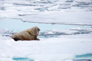 Solitary walrus (Odobenus rosmarus) on the icefloe, Svalbard, 2