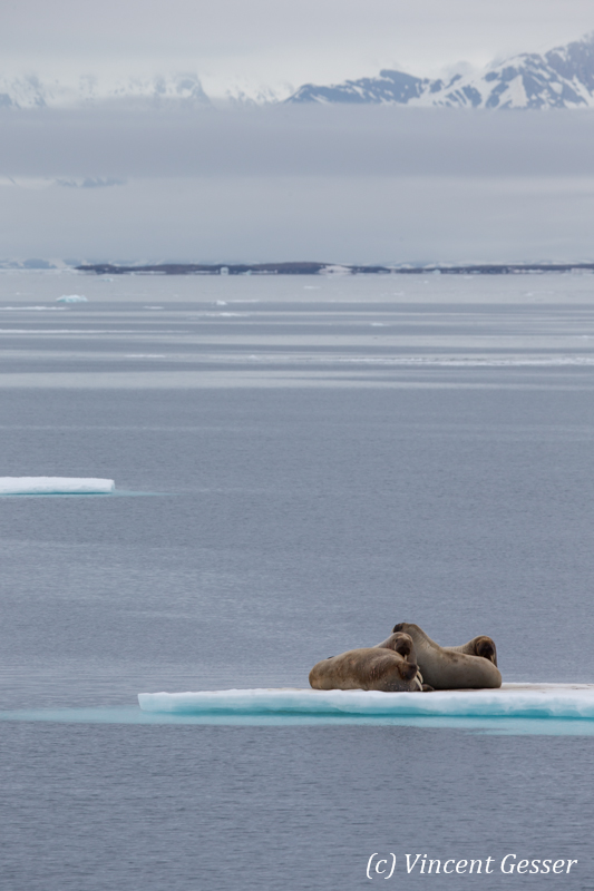 Family of walrus (Odobenus rosmarus) on the icefloe, Svalbard, 4