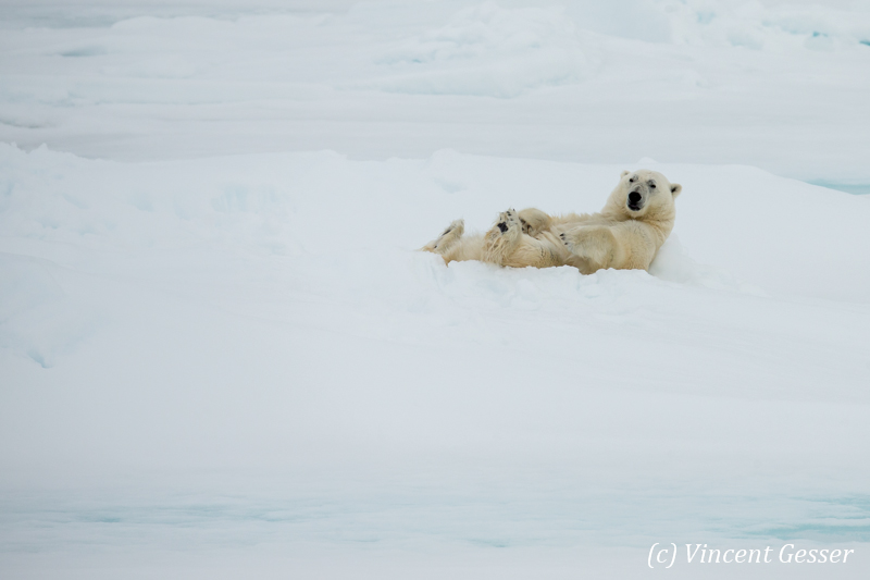 Polar bear (Ursus maritimus) laying on the icefloe, Svalbard, 2