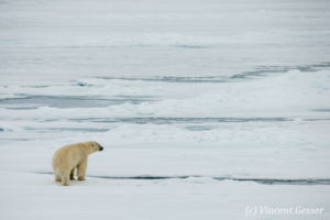 Polar bear (Ursus maritimus) observing, Svalbard, 3