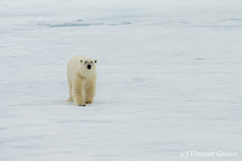 Polar bear (Ursus maritimus) walking towards you on the icefloe, Svalbard, 5