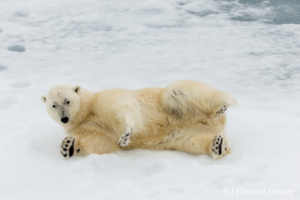 Polar bear (Ursus maritimus) laying close on the icefloe, Svalbard, 3