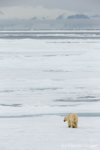 Polar bear (Ursus maritimus) walking away on the icefloe, Svalbard, 6