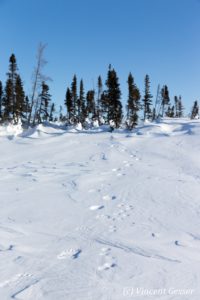 Polar bear (Ursus maritimus) paw prints in the snow, Canada, Manitoba