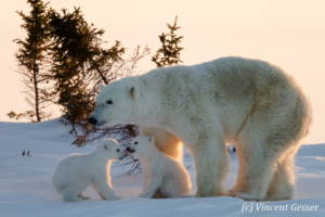 Polar bear (Ursus maritimus) mother and cubs in the snow, Canada, Manitoba, 7