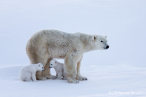 Polar bear (Ursus maritimus) mother and two cubs, Canada, Manitoba, 2