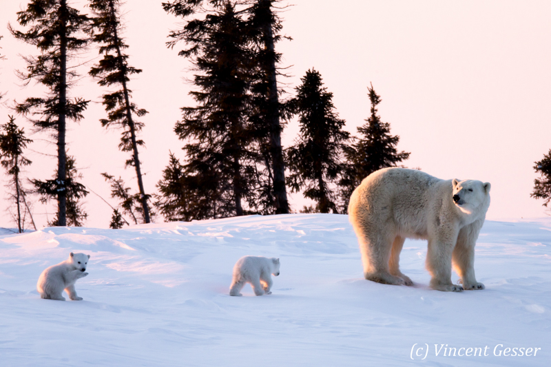 Polar bear (Ursus maritimus) mother and two cubs, Canada, Manitoba, 6