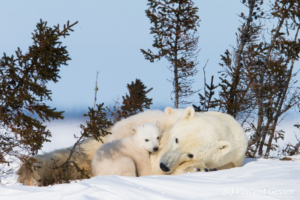 Polar bear (Ursus maritimus) mother and two cubs, Canada, Manitoba, 10