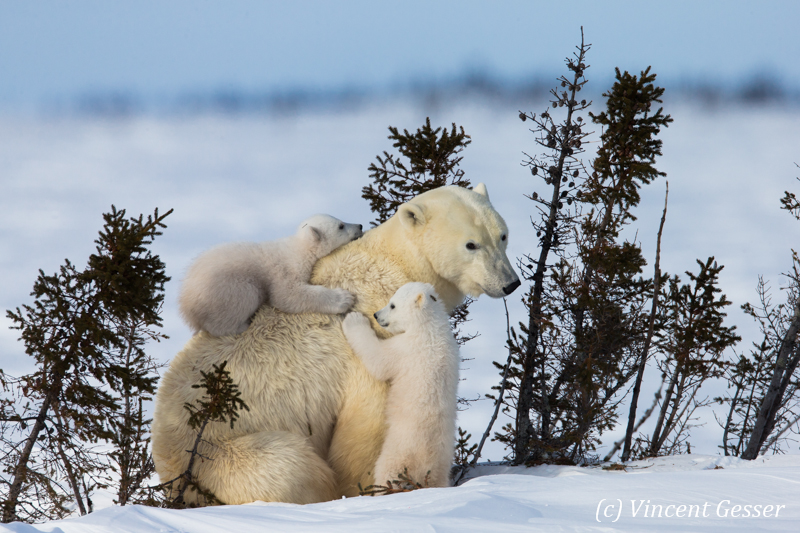 Polar bear (Ursus maritimus) mother and two cubs, Canada, Manitoba, 18