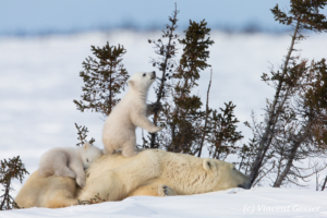 Polar bear (Ursus maritimus) mother and two cubs, Canada, Manitoba, 25