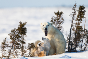 Polar bear (Ursus maritimus) mother yawning and cubs, Canada, Manitoba, 2