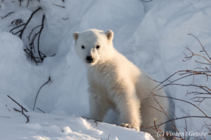 Polar bear (Ursus maritimus) cub outside its den, Canada, Manitoba, 3