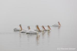 Group of dalmatian pelicans (Pelecanus crispus) swimming in the mist, Lake Kerkini National Park, Greece