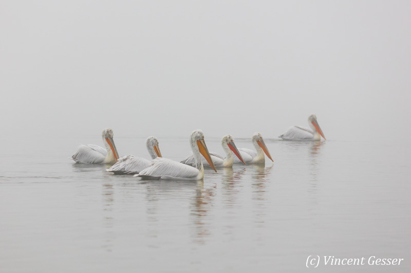 Group of dalmatian pelicans (Pelecanus crispus) swimming in the mist, Lake Kerkini National Park, Greece