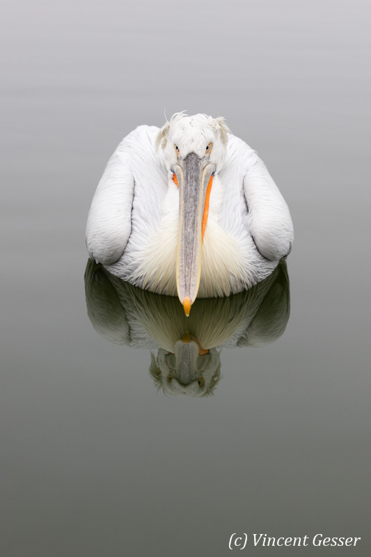 Dalmatian pelican (Pelecanus crispus) - Reflection, Lake Kerkini National Park, Greece