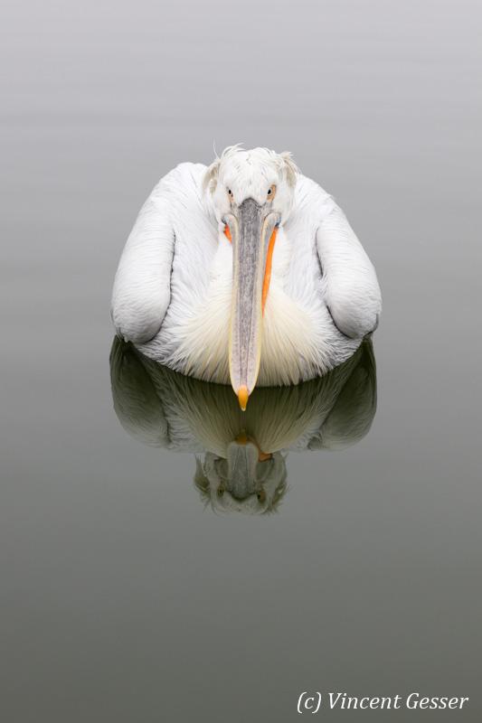Dalmatian pelican (Pelecanus crispus) - Reflection, Lake Kerkini National Park, Greece