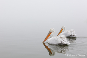 Dalmatian pelicans (Pelecanus crispus) swimming - Reflection, Lake Kerkini National Park, Greece