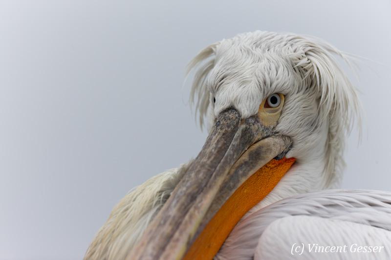 Dalmatian pelican (Pelecanus crispus) - Portrait, Lake Kerkini National Park, Greece