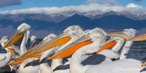 Dalmatian pelicans (Pelecanus crispus) and snowy mountains, Lake Kerkini National Park, Greece