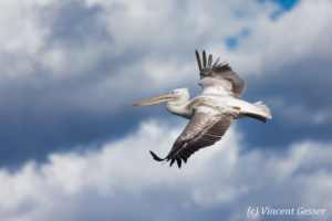 Juvenile dalmatian pelicans (Pelecanus crispus) in flight, Lake Kerkini National Park, Greece