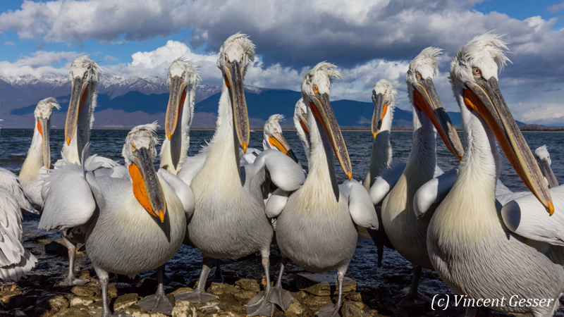 Group of dalmatian pelicans (Pelecanus crispus) observing carefully, Lake Kerkini National Park, Greece