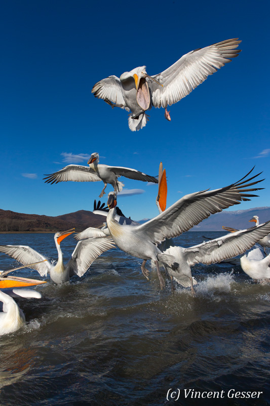Group of dalmatian pelicans (Pelecanus crispus) catching a fish, Lake Kerkini National Park, Greece