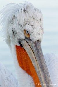 Dalmatian pelican (Pelecanus crispus) - Portrait, Lake Kerkini National Park, Greece