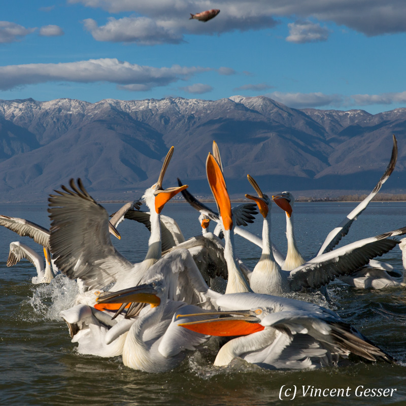 Group of dalmatian pelicans (Pelecanus crispus) catching a fish, Lake Kerkini National Park, Greece
