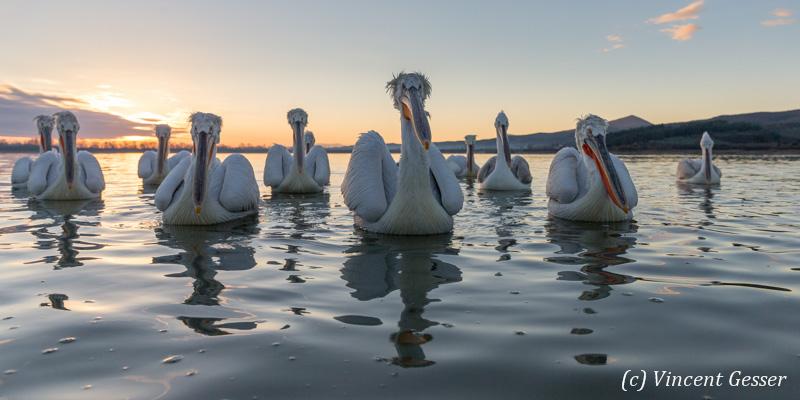 Group of dalmatian pelicans (Pelecanus crispus) gathering at dusk, Lake Kerkini National Park, Greece