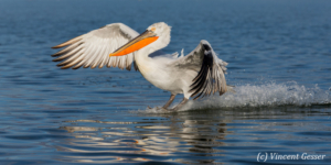 Dalmatian pelican (Pelecanus crispus) sea-landing, Lake Kerkini National Park, Greece