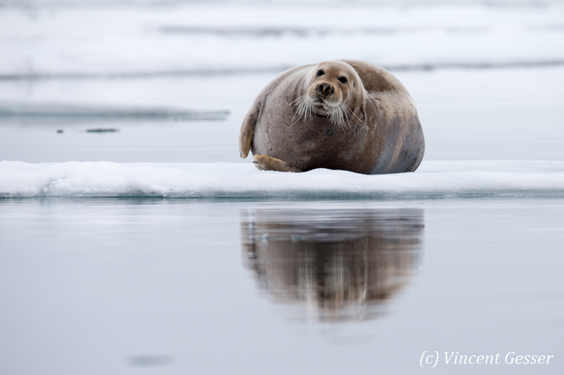 Bearded seal (Erignathus barbatus) laying on a small iceberd, Spitzbergen, Svalbard, 2