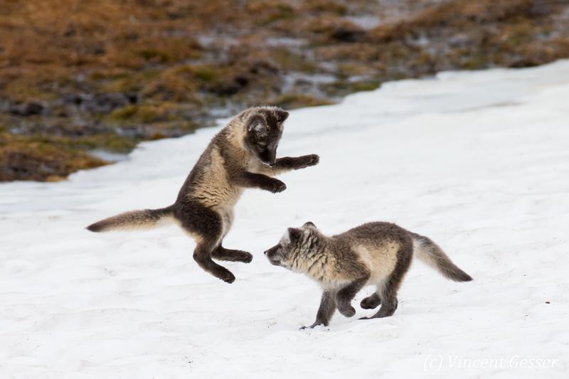 Arctic fox (Vulpes lagopus) cubs playing, Spitzbergen, Svalbard, 22