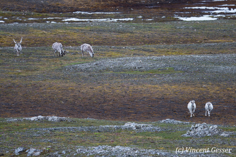 Svalbard reindeers (Rangifer tarandus platyrhynchus) grazing on the toundra, Spitzbergen, Svalbard, 3