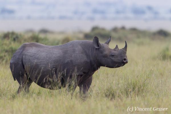 Black rhinoceros (Diceros bicornis) profile, Masai Mara National Reserve, Kenya